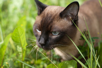 siam cat walking in green grass