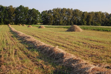 Swath of hay