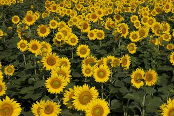 黄色い絨毯のヒマワリ畑