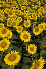 縦位置で黄色い絨毯のヒマワリ畑