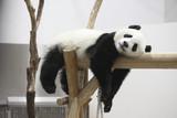 Fototapety 休むパンダ