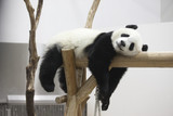 Fototapete Giant panda - Schloss - Säugetiere