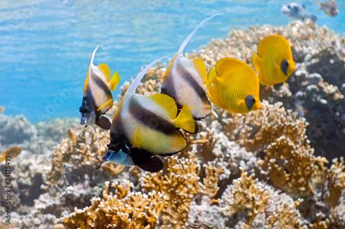 Ławica bannerfish i Butterflyfish na rafy ognia