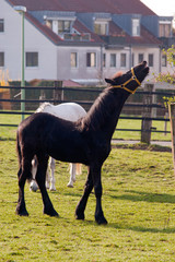 Neighing young black horse