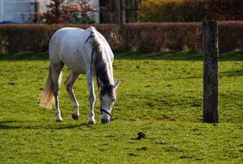 Grazing white horse