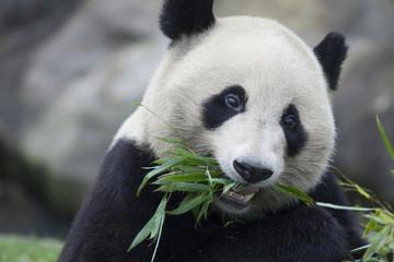 食事をするパンダ