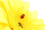 Fototapeta kwiat - na białym tle - Insekt