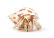 Hermit Crab - 24183805