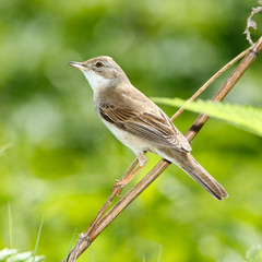 Whitethroat, Sylvia communis