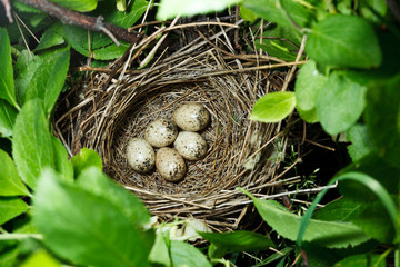 Birdnest (Whitethroat, Sylvia communis)