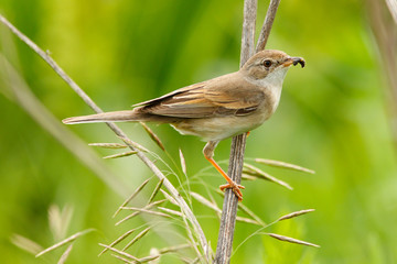 female of a Whitethroat, Sylvia communis