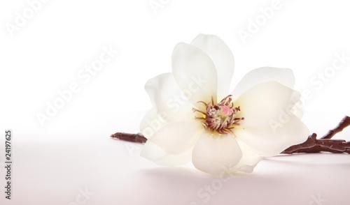 Fotobehang Magnolia Magnolie