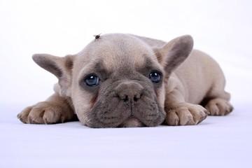 French Bulldog Puppy & Fly