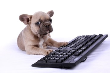 French Bulldog Baby & Keyboard