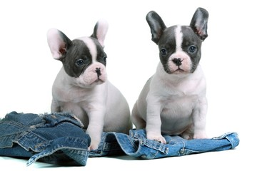 French Bulldog Puppies & Jeans