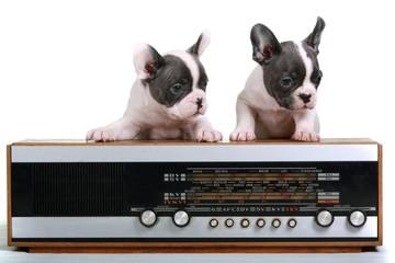 French Bulldog Puppies & Old Radio