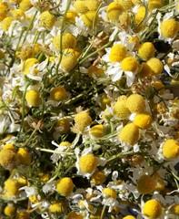 camomile herb