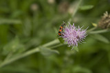 red striped insect, pollinate on purple flower poster