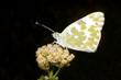 bath white / Pontia daplidice