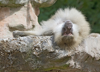 Adult Baboon Resting
