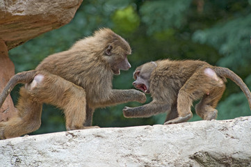 Two Baboons Fighting
