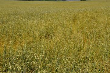 distesa di grano verde nella pianura tedesca