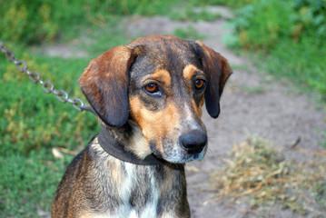 Portrait of a dog with sad eyes on a leash
