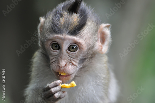 Foto op Plexiglas Indonesië barbary macaque monkey eating fruit
