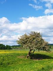 old tree in port meadow, Oxford, UK