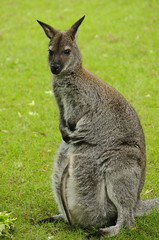Red-necked wallaby (Bennett's wallaby)