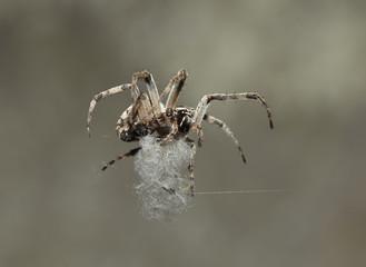 spinne spider 02