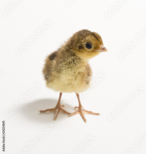 Baby Golden Pheasant. Isolated on white background.