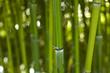 Bambus Bamboo 01