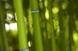 Bambus Bamboo 02