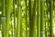 Fototapeten,bambus,wald,urwald,urwald