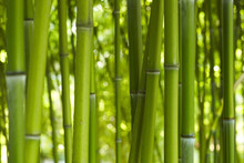 Bambus Бамбук 06