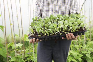 Close Up Of Organic Farmer Holding Tray Of Seedlings In Greenhou