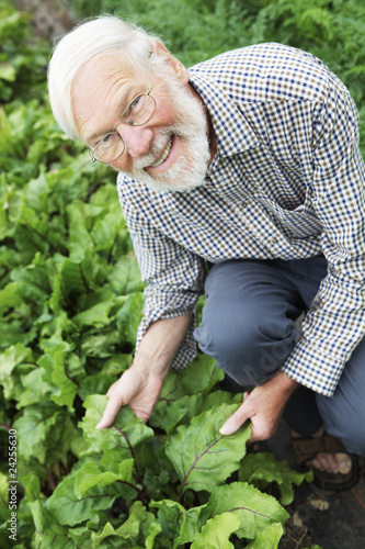 Organic Farmer Inspecting Beetroot Crop