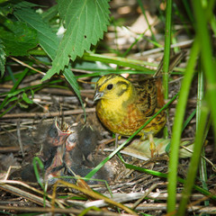 Yellowhammer, Emberiza citrinella by nest.