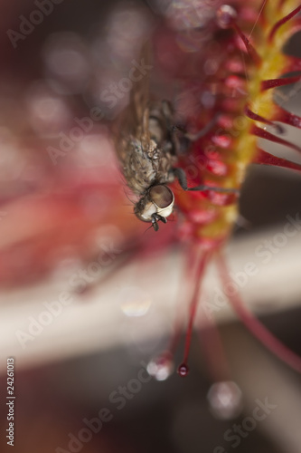 Common sundew (Drosera rotundifolia) with catched fly.