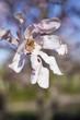 Magnolia Tree Flower Blossom,Quebec, anada