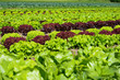 field of fresh and tasty salad/lettuce plantation