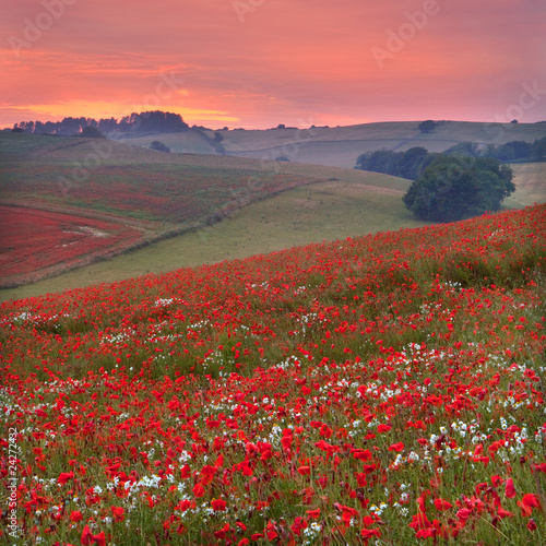Dorset poppy field sunset, UK