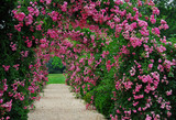 Fototapety Pergola with pink blooming roses