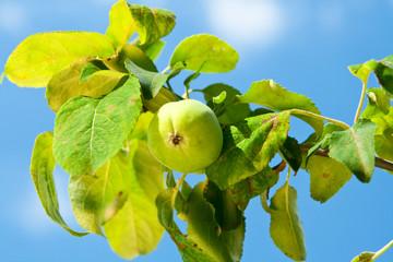 Little green apple.