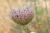 wild carrot daucus carota flower balearic islands