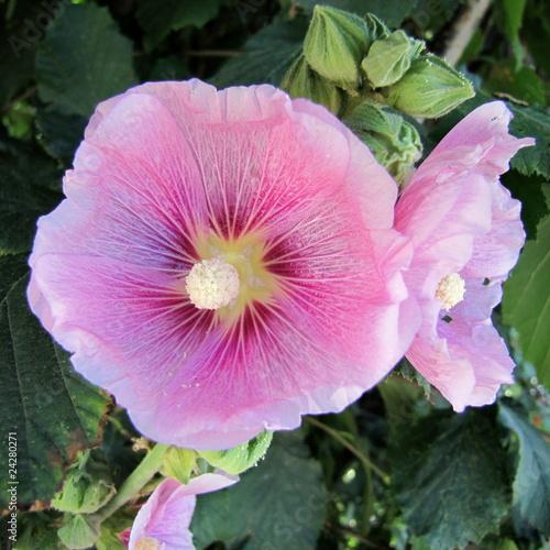 La rose trémière en juillet.