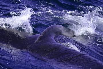 Humpback Whale in Cape Cod
