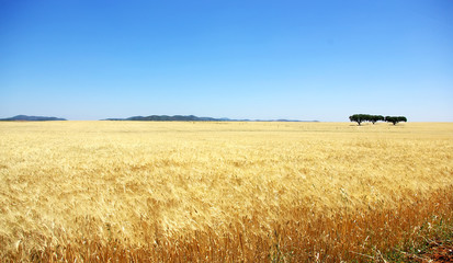 Wheat field in alentejo, Portugal.