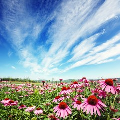 cone flower in field